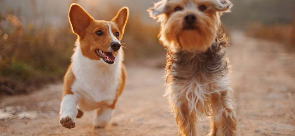 Two dogs playing during the golden hour of sunset